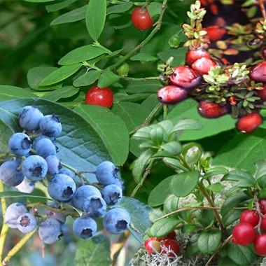 Wissen über Heidelbeeren